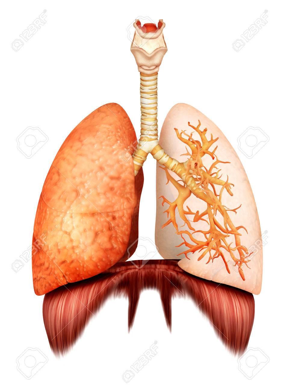 Anatomía Del Sistema Respiratorio Humano, Vista Frontal. Fotos ...