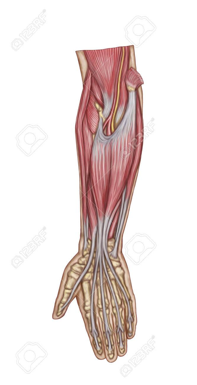 Anatomy Of Forearm Muscles, Anterior View, Middle. Stock Photo ...