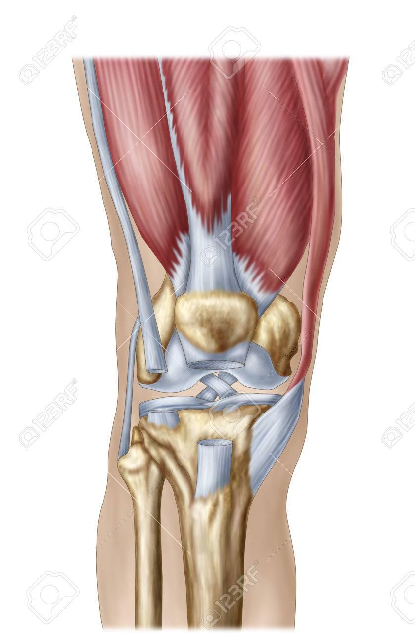 Anatomía De La Articulación De La Rodilla Humana. Fotos, Retratos ...
