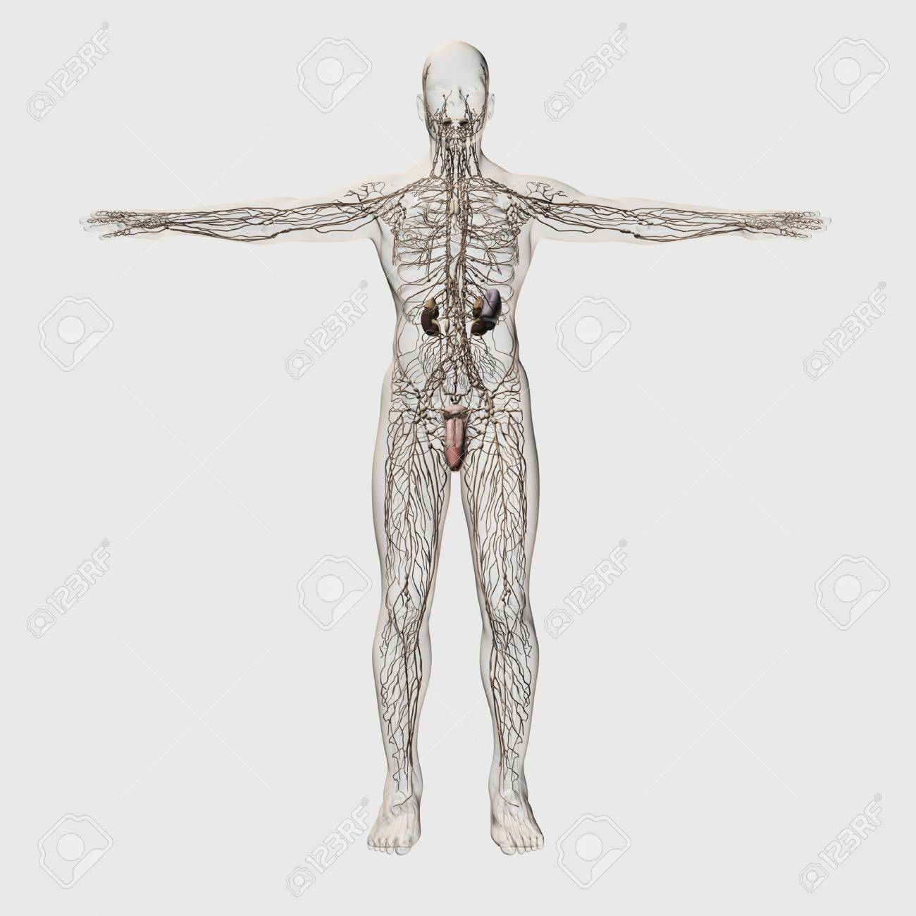 Three Dimensional Medical Illustration Of Male Lymphatic System ...