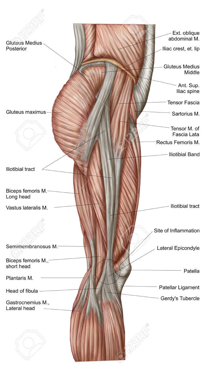 Anatomy Of Human Thigh Muscles, Anterior View. Stock Photo, Picture ...