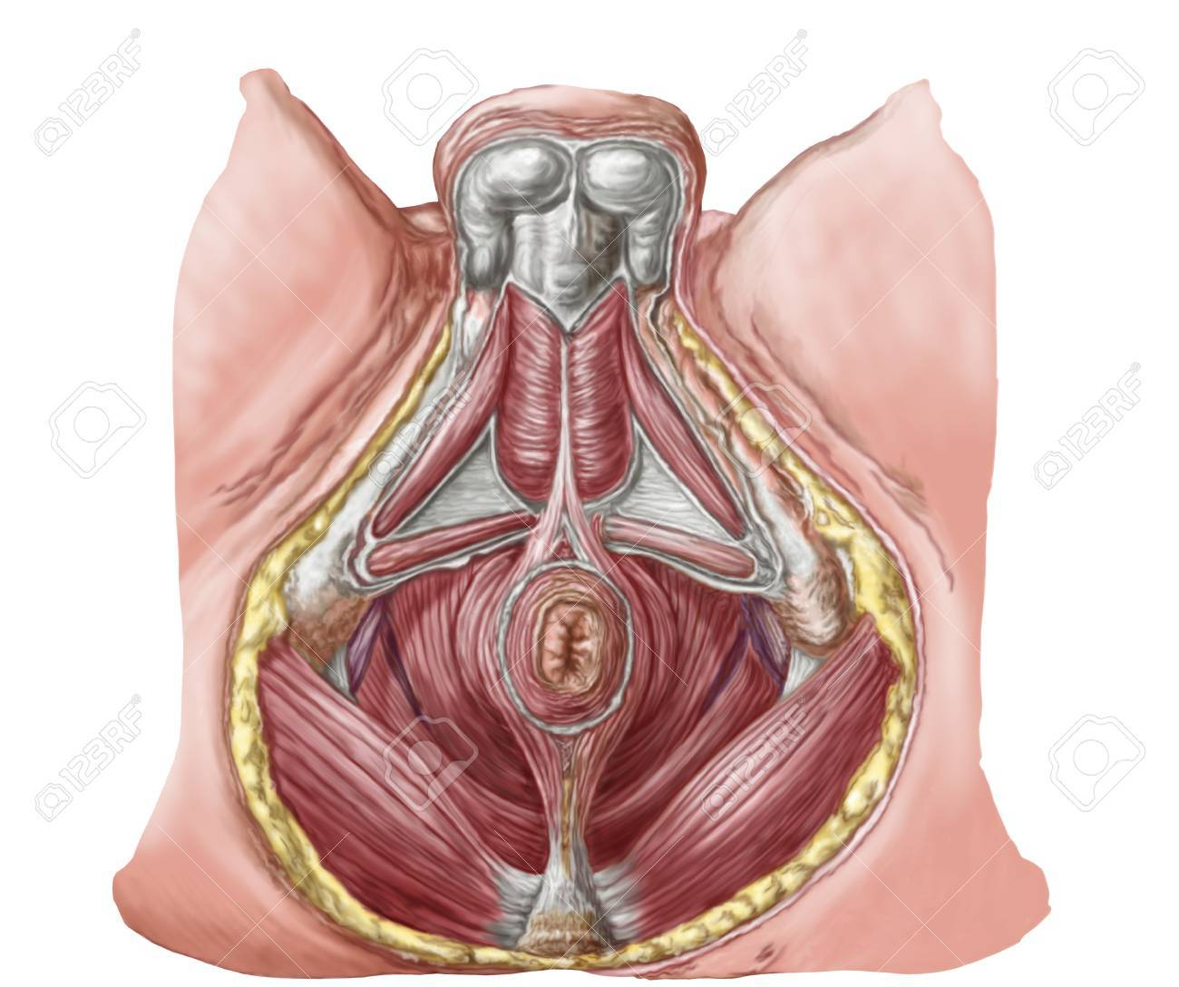 Pelvic Floor Of Human Male. Stock Photo, Picture And Royalty Free ...