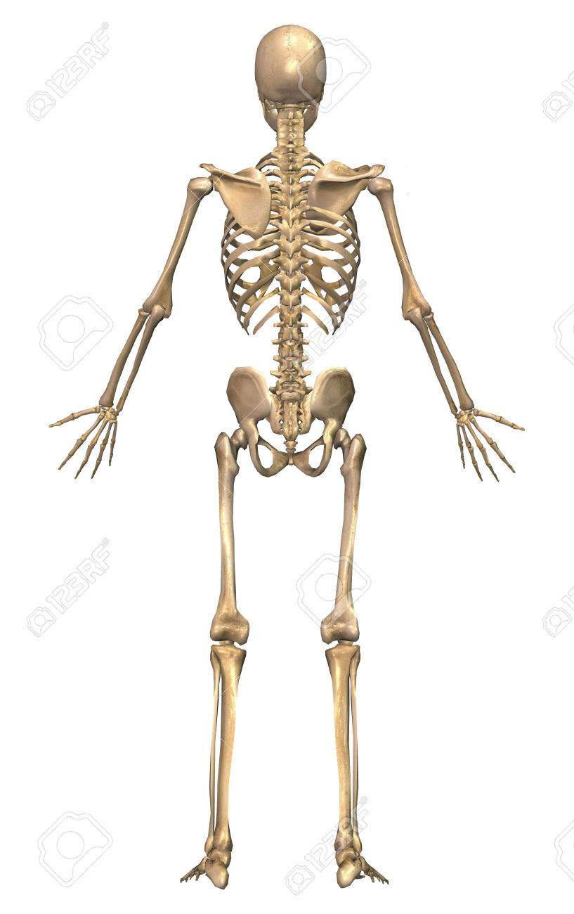 Human skeletal system back view stock photo picture and royalty human skeletal system back view stock photo 78296942 ccuart Choice Image