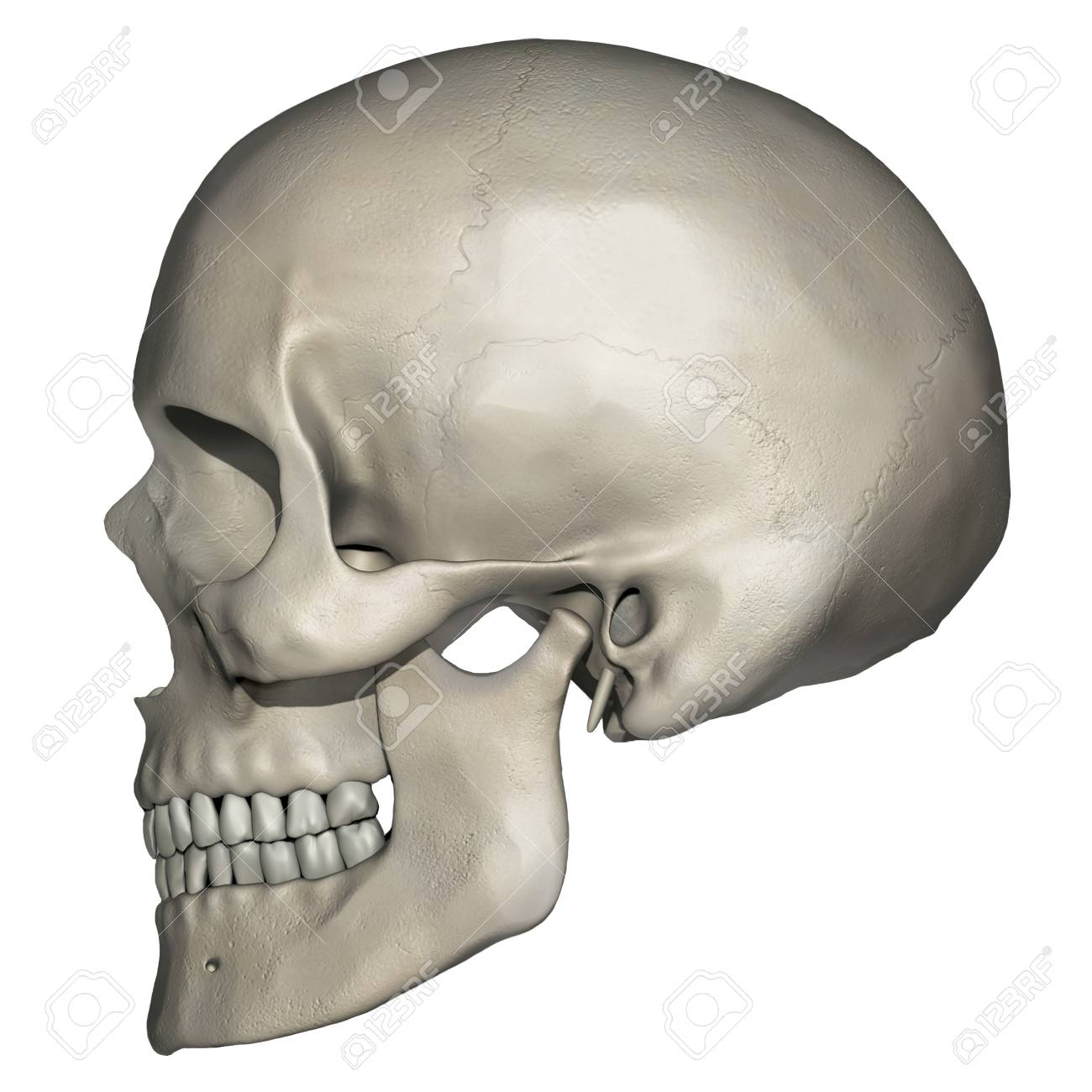 Lateral View Of Human Skull Anatomy Stock Photo Picture And Royalty