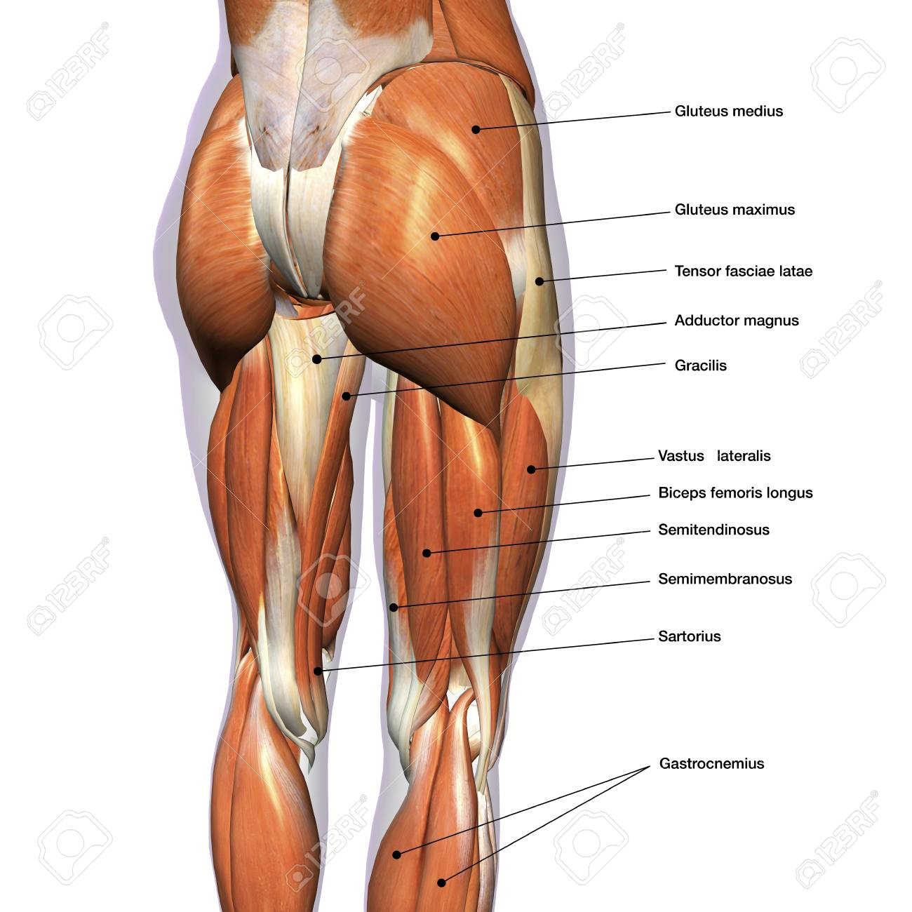 Female Hip Muscle Diagram Free Wiring Diagram For You