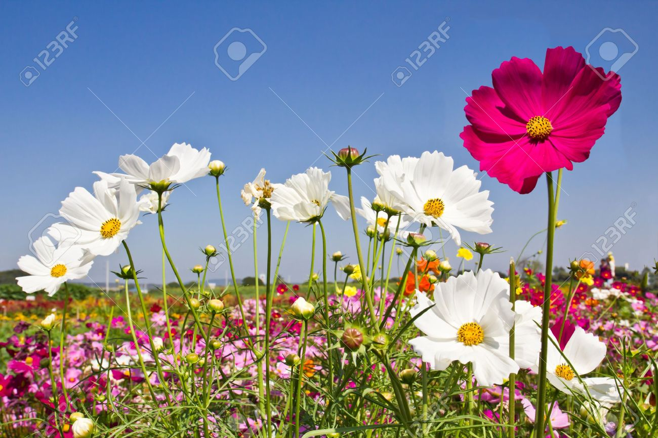Blooming Cosmos Flower Garden And Blue Sky Stock Photo, Picture And ...