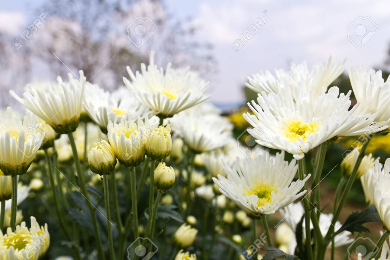 White chrysanthemum  flowers in garden Stock Photo - 13209774