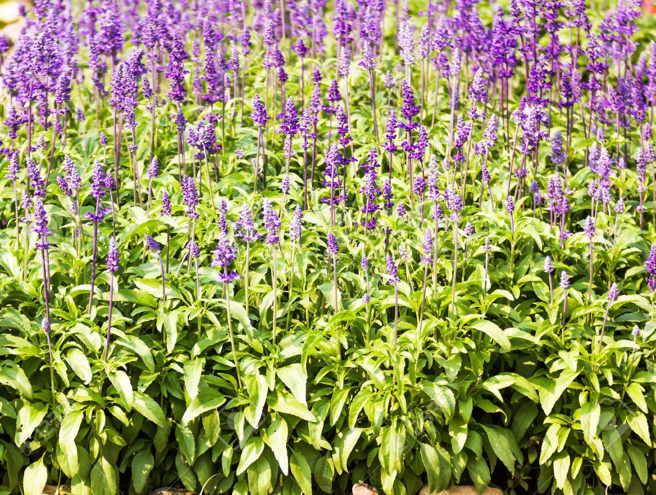 Blue Salvia herbal flowers