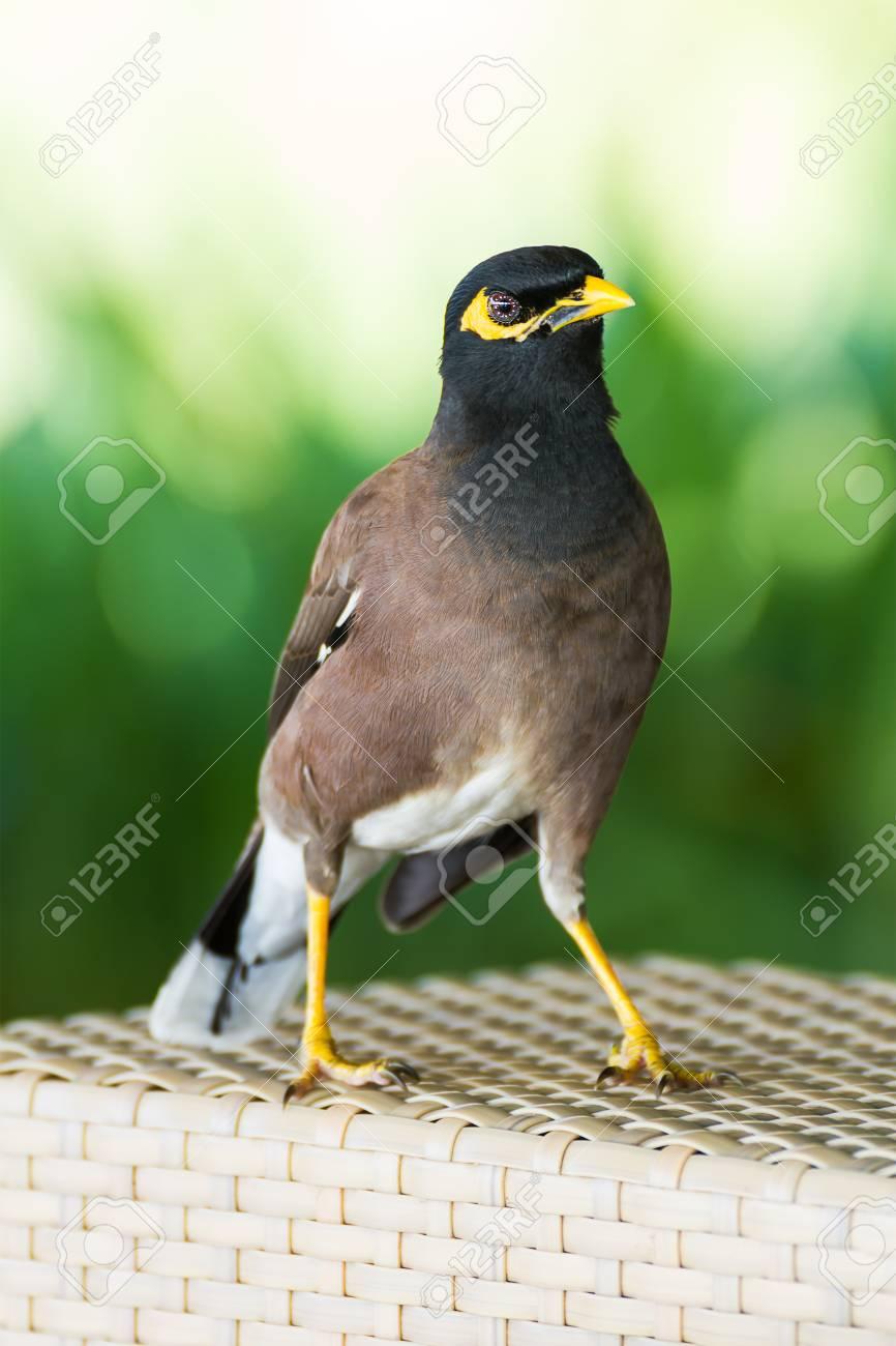 Beo vogel kaufen