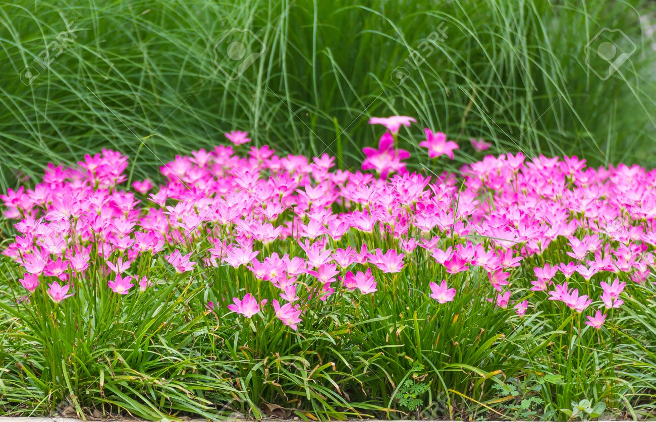 Pink Rain Lily Or Zephyranthes Lily Flower In Garden Changmai