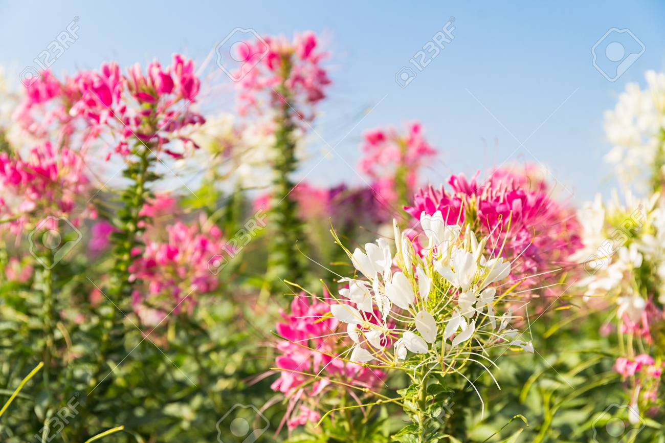Close up pink and white spider flowercleome hassleriana in stock close up pink and white spider flowercleome hassleriana in the garden agent blue mightylinksfo