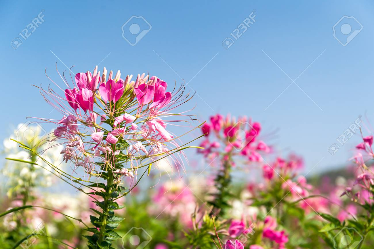 Close Up Pink And White Spider Flowercleome Hassleriana In Stock