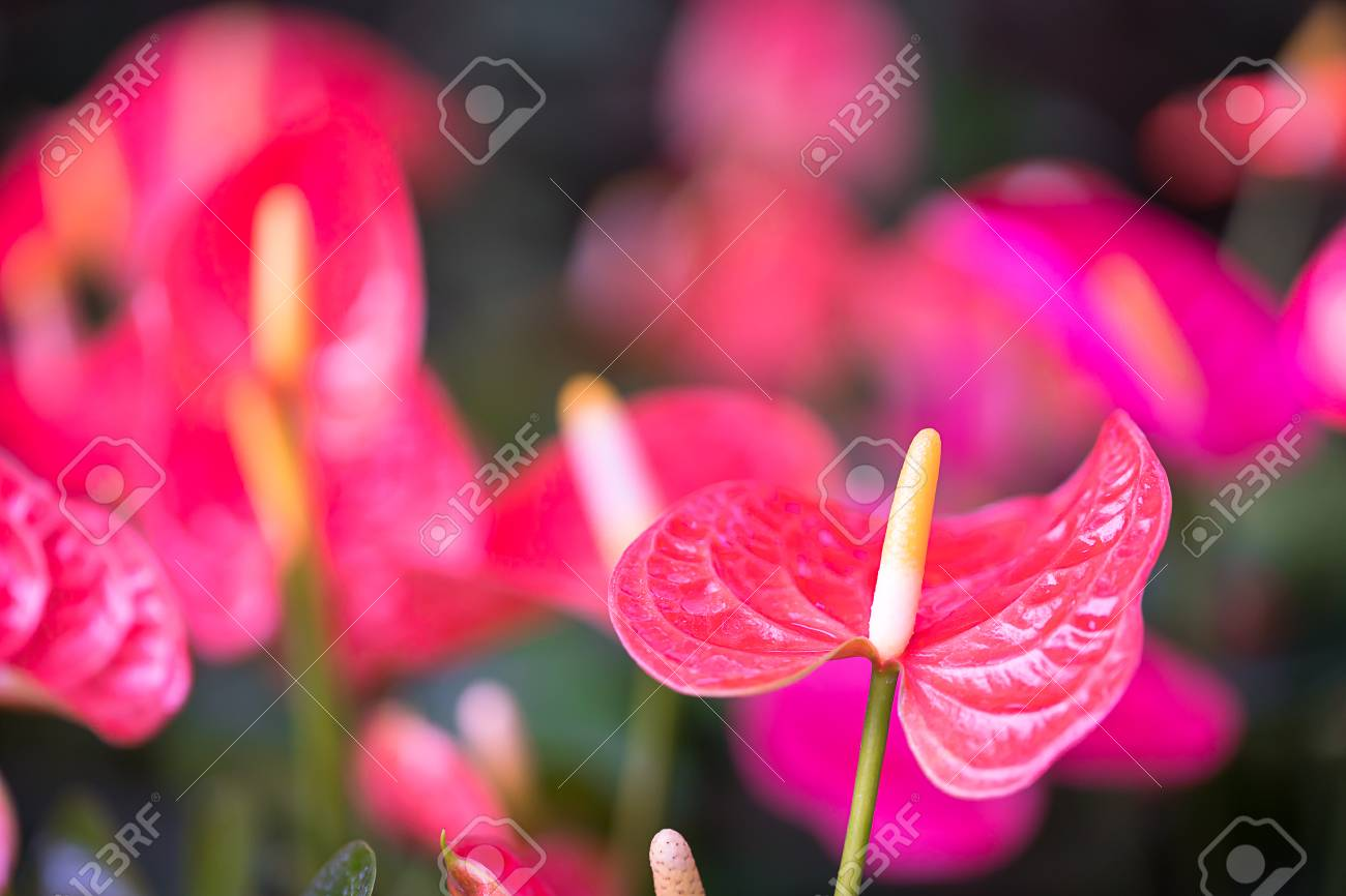 Close Up Of Pink Anthurium Or Flamingo Flowers In Garden Stock Photo