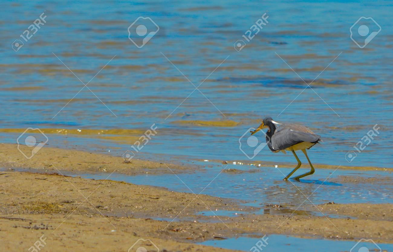 A Tricolored Heron (Egretta tricolor) at the Lemon Bay Aquatic