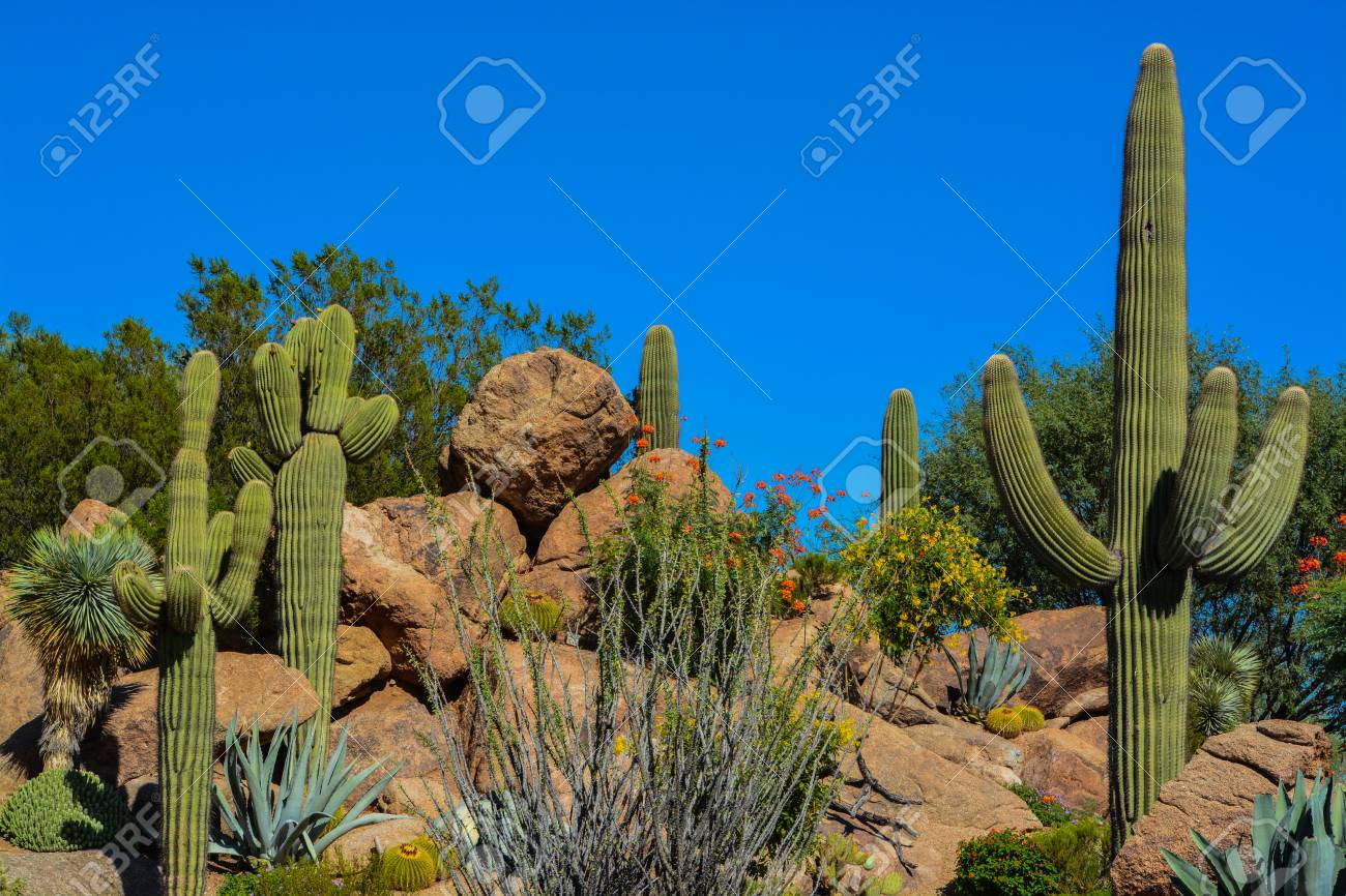 Desert cactus landscape in Arizona Stock Photo - 86863446 - Desert Cactus Landscape In Arizona Stock Photo, Picture And Royalty