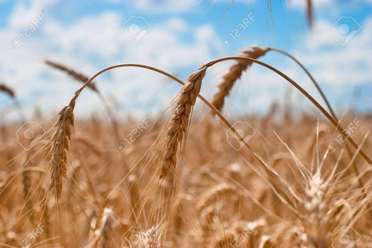 Beautiful field of ripe wheat under blue cloudy sky Stock Photo - 7084296