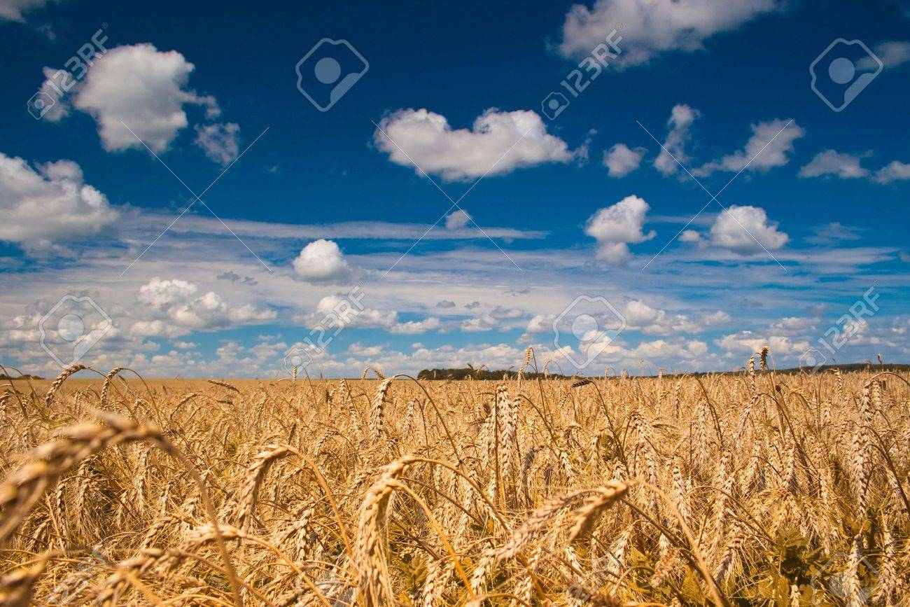 Beautiful field of ripe wheat under blue cloudy sky Stock Photo - 7084302