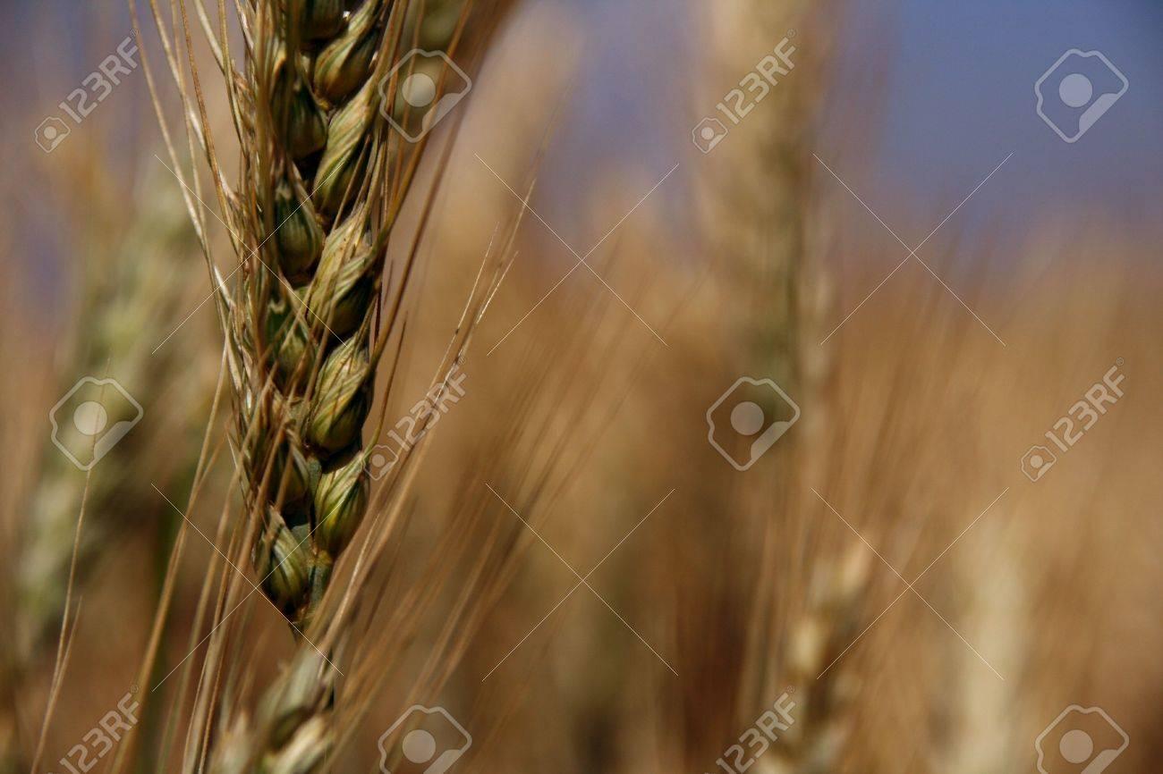 wheat colourful version Stock Photo - 887437