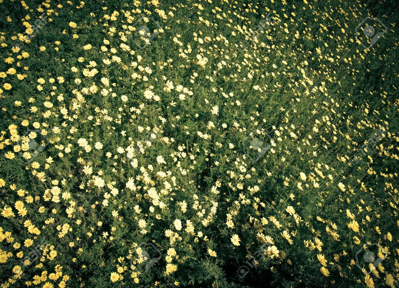 Prato Di Fiori Gialli Tra L\'erba Verde. Può Essere Usato Come Sfondo ...