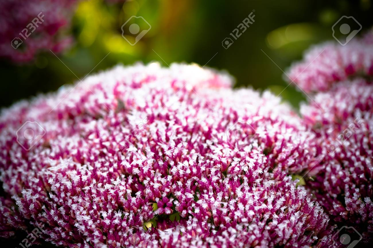 Pink Flowers Of Stonecrop Sedum With Ice And Snow Pieces Autumn