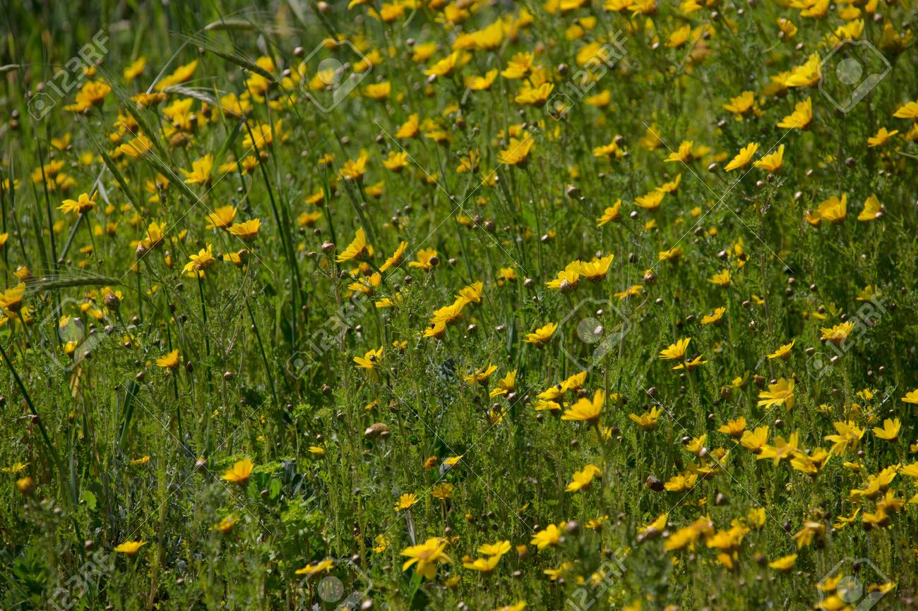 Field Of Wild Yellow Flowers Selective Focus Stock Photo Picture