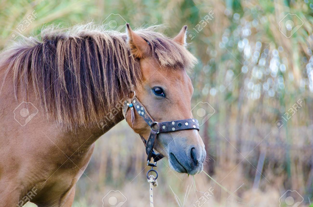 The Small Bodied Greek Skyrian Horse Is One Of The Rarest Horse Stock Photo Picture And Royalty Free Image Image 65046950