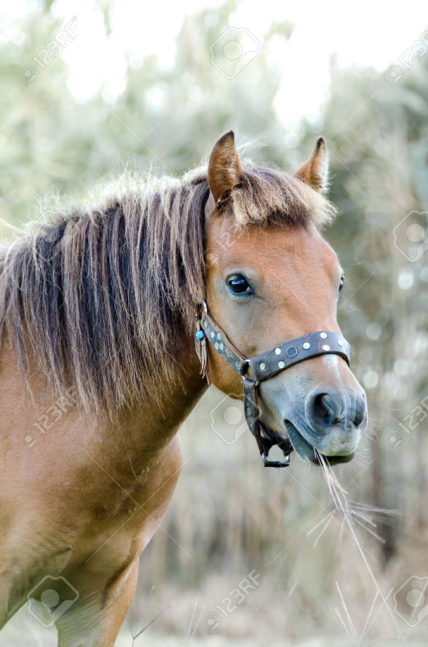 The Small Body Greek Skyrian Horse Is One Of The Rarest Horse Stock Photo Picture And Royalty Free Image Image 97912202