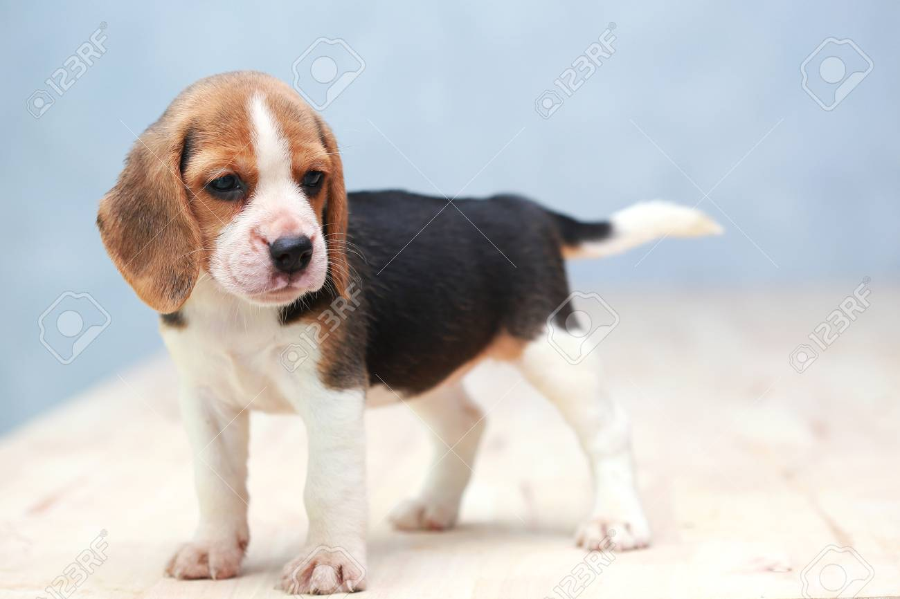 small cute beagle puppy dog looking up stock photo picture and