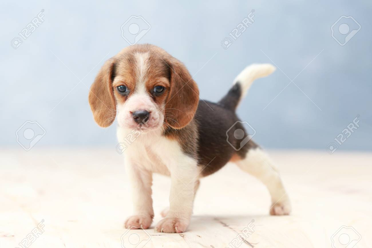 Small Cute Beagle Puppy Dog Looking Up Stock Photo Picture And Royalty Free Image Image 69246926