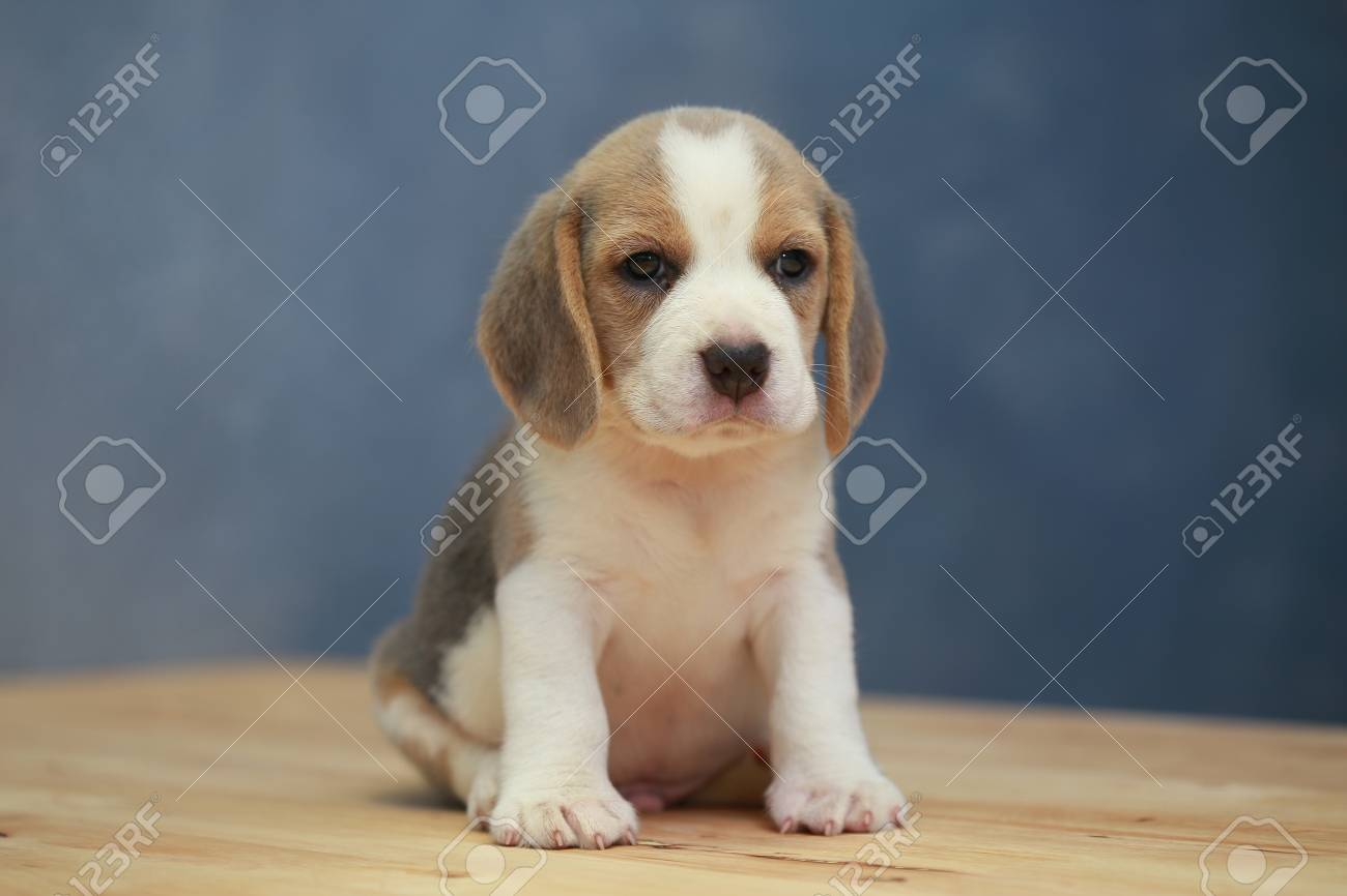 Cute Beagle Puppy 2 Month In Action Stock Photo Picture And Royalty Free Image Image 70701436