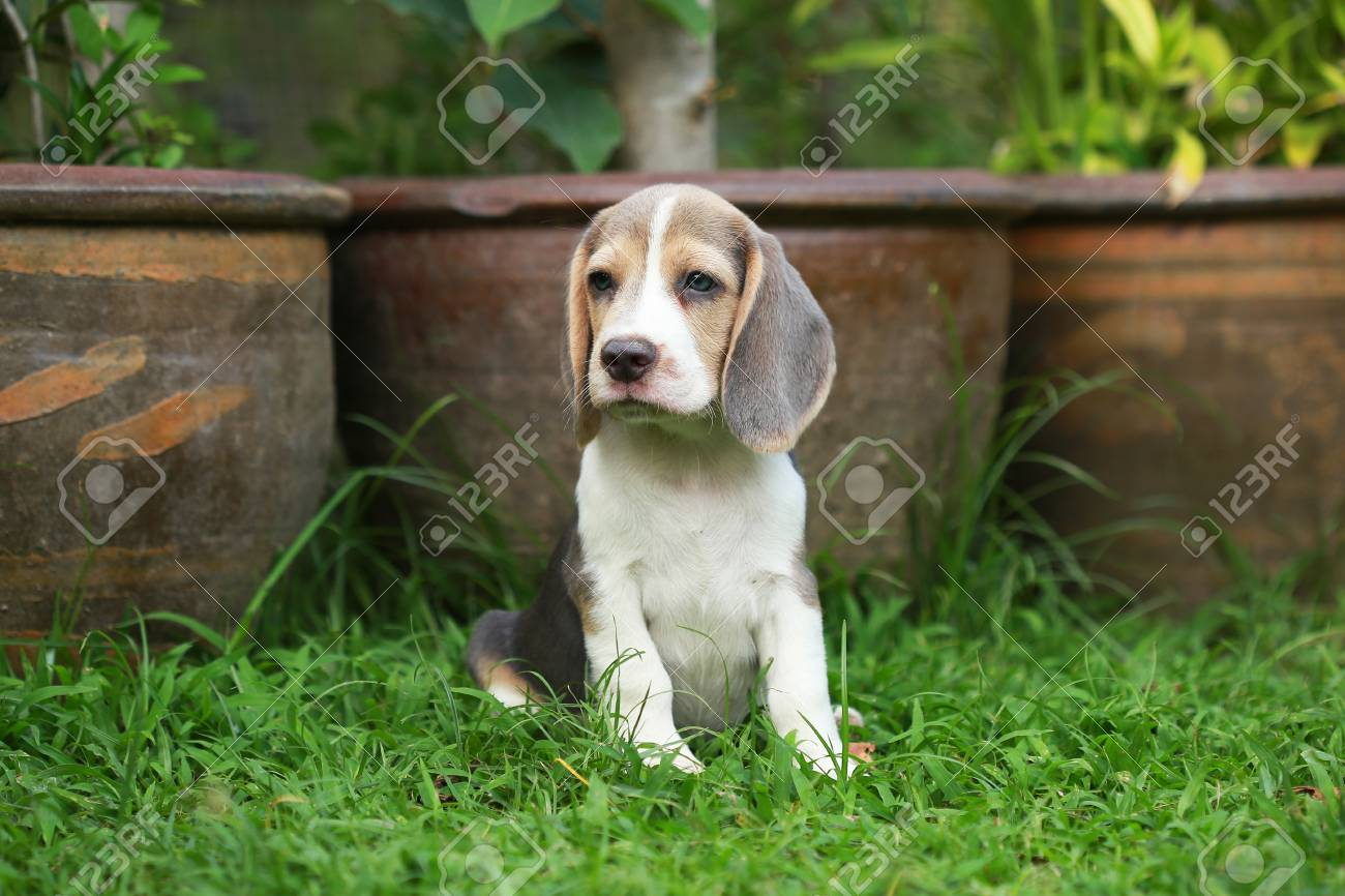 Strong Purebred Silver Tri Color Beagle Puppy In Action 2 Months Stock Photo Picture And Royalty Free Image Image 77357570