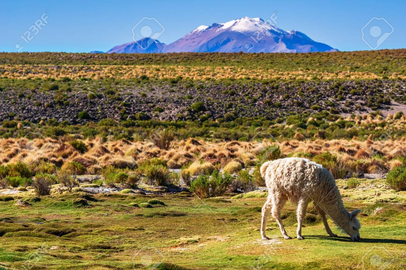 Ver En Llama En El Paisaje De Montaa Del Altiplano En Bolivia Fotos