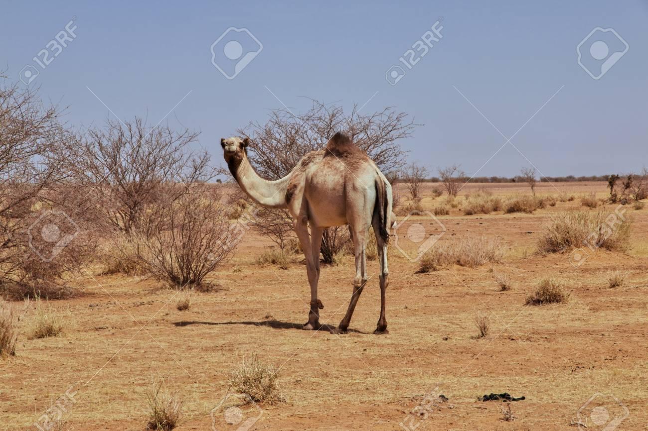 Camel in the desert of the Sudan - 122175378