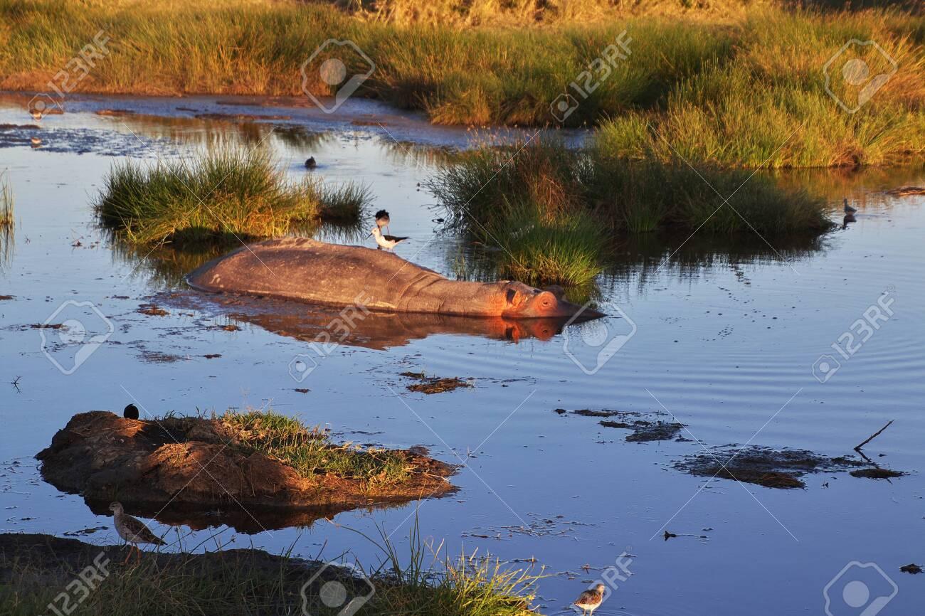 Hippo, Hippopotamus on safari in Kenia and Tanzania, Africa - 124275184