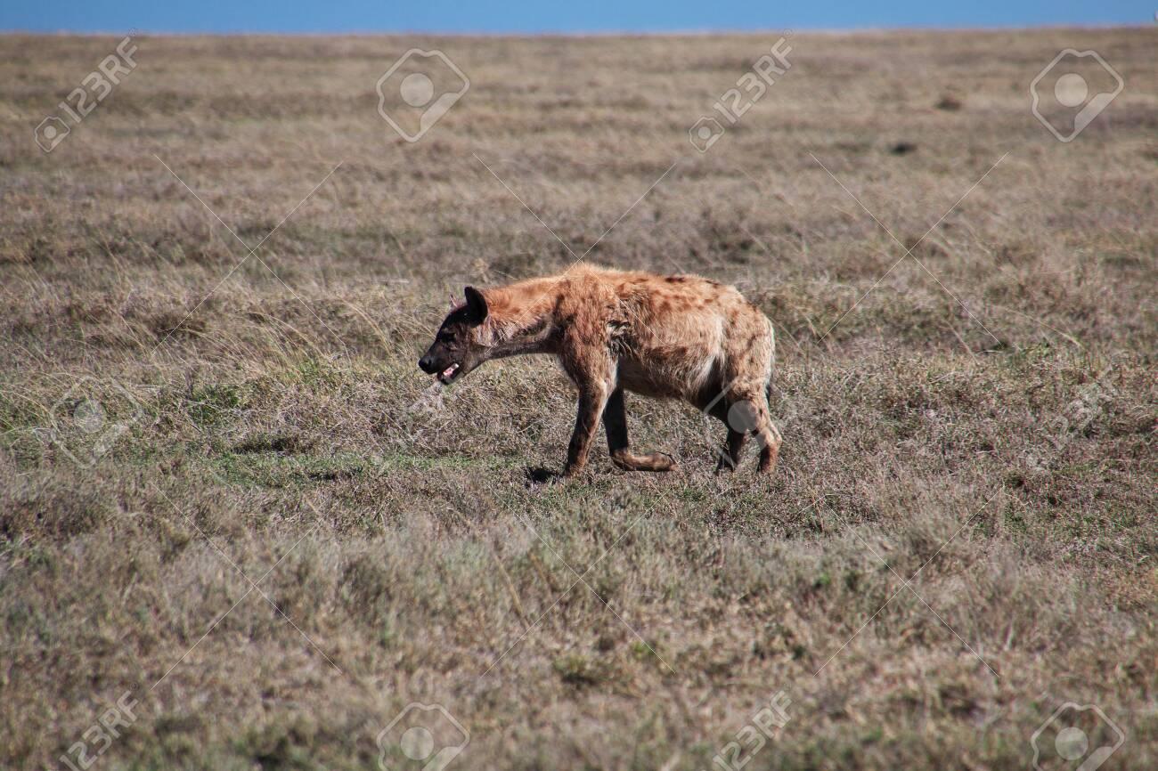 Hyena on safari in Kenia and Tanzania, Africa - 124469549