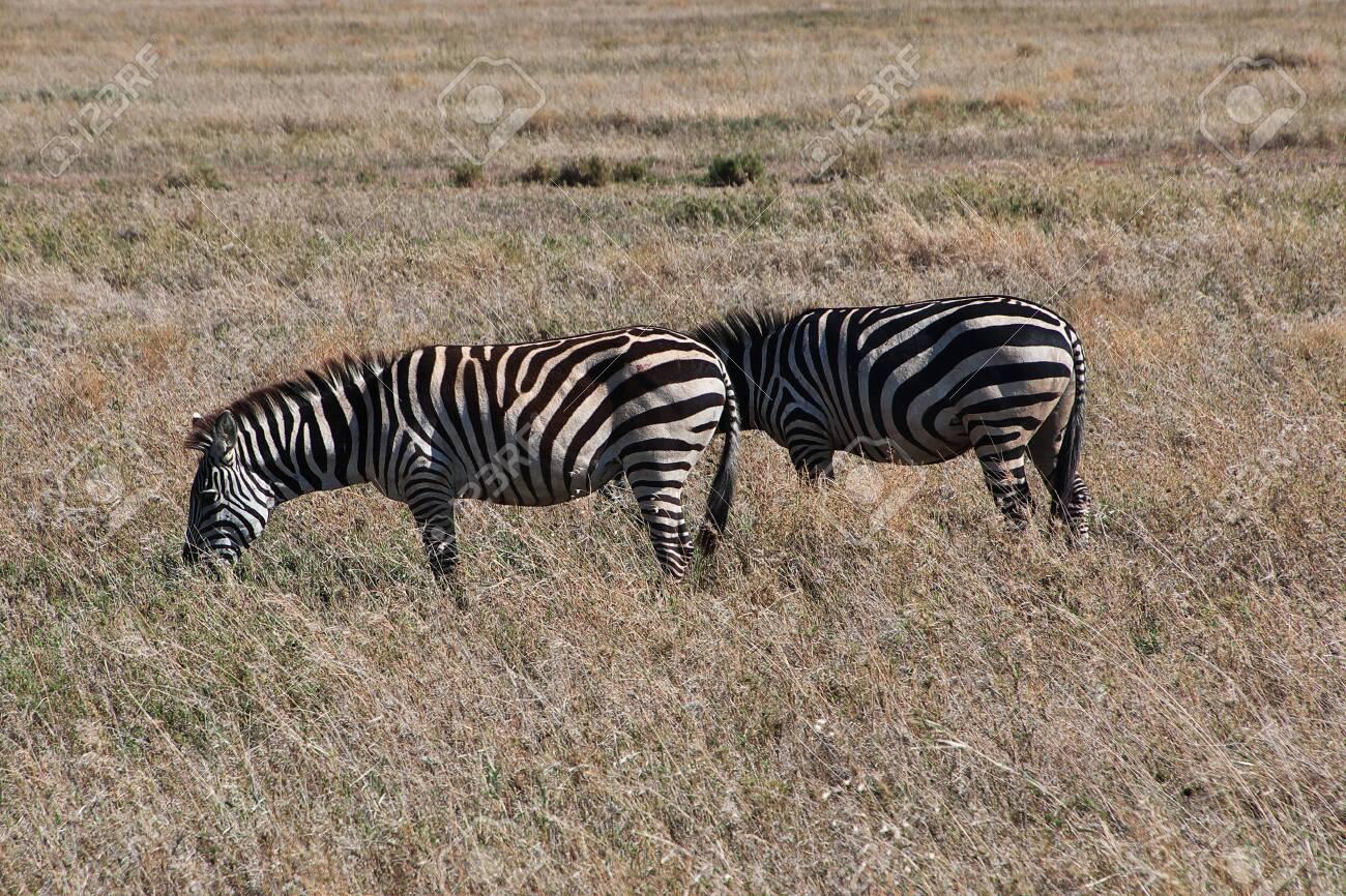 Zebra on safari in Kenia and Tanzania, Africa - 124469815