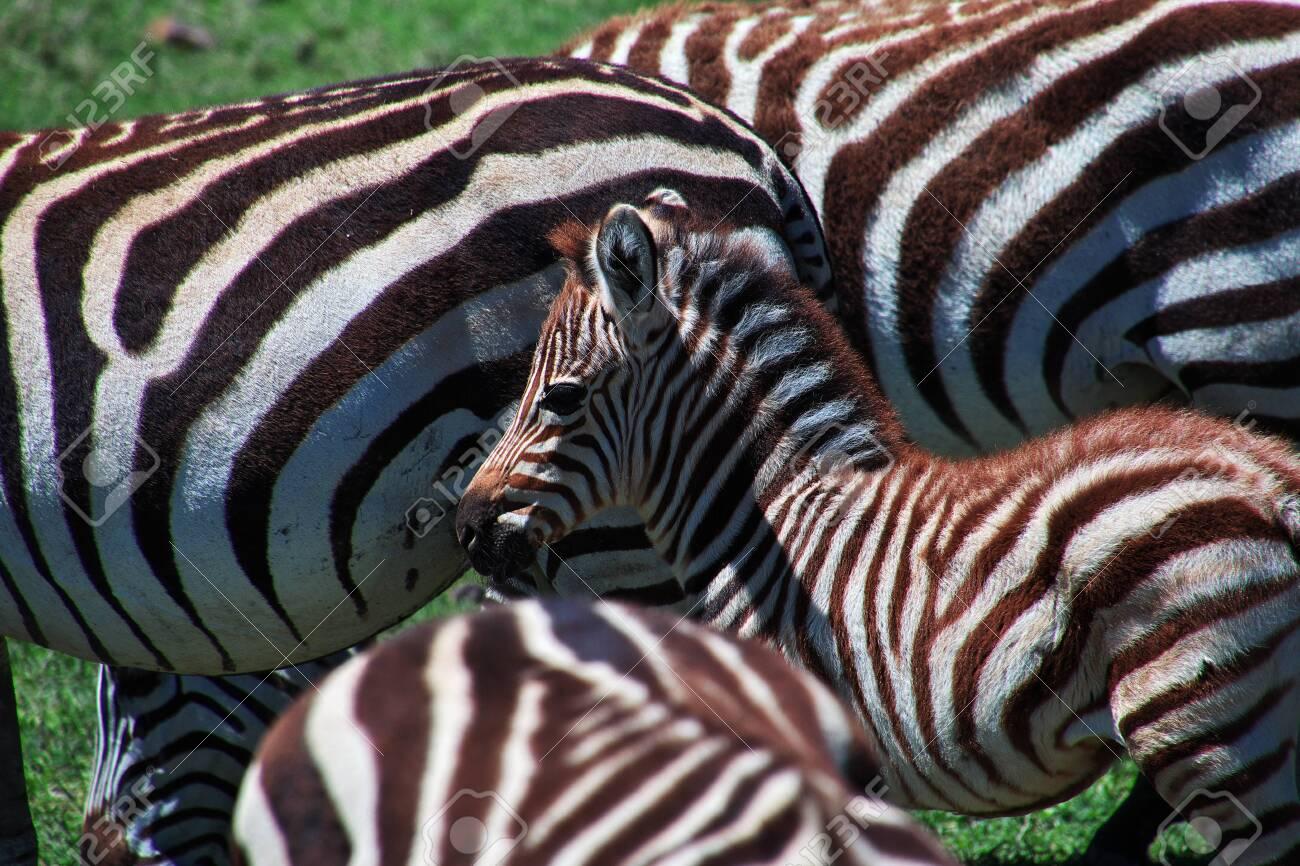 Zebra on safari in Kenia and Tanzania, Africa - 124323840