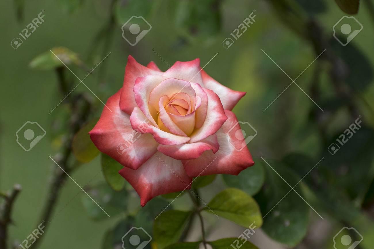 La Naranja Hermosa Y La Rosa Blanca En La Plena Floración Con El ...
