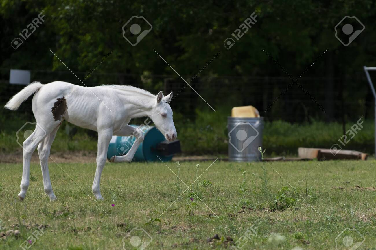 Beautiful Snow White Albino Baby Horse Walking Across A Ranch Stock Photo Picture And Royalty Free Image Image 146582202