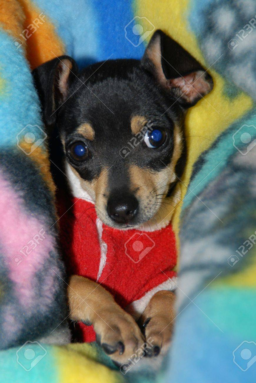 Mini Pinscher Puppy Stock Photo Picture And Royalty Free Image