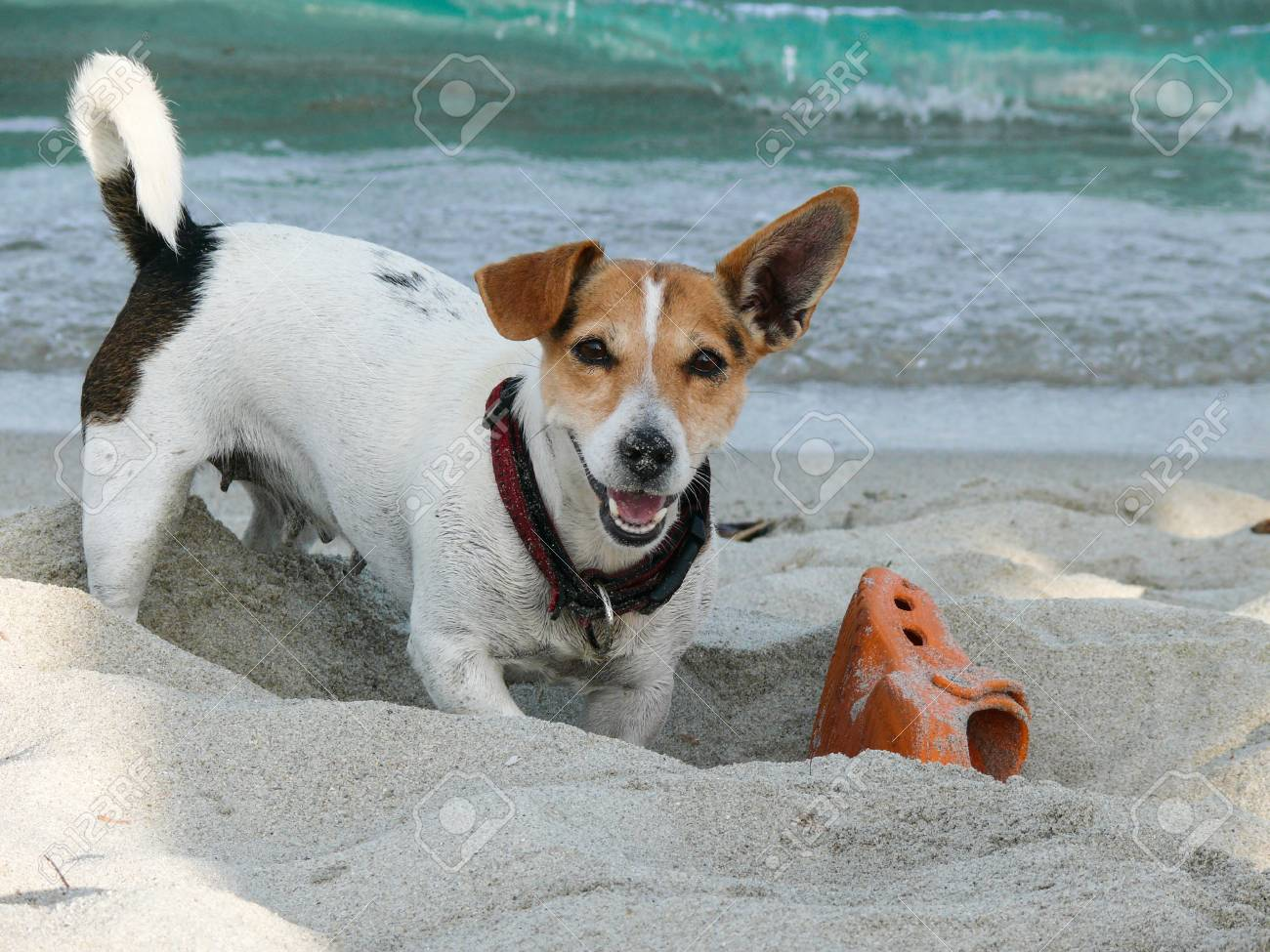 022436097ba Cute dog Jack Russell Terrier play with shoe on the beach Stock Photo -  101585656