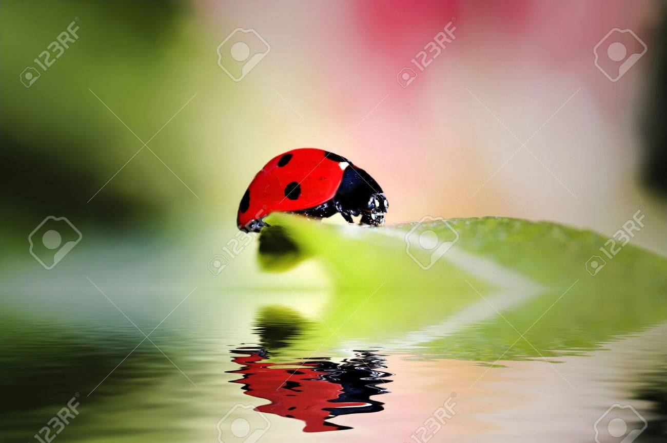 Ladybird bug on a leaf with green and pink background Stock Photo - 2538910