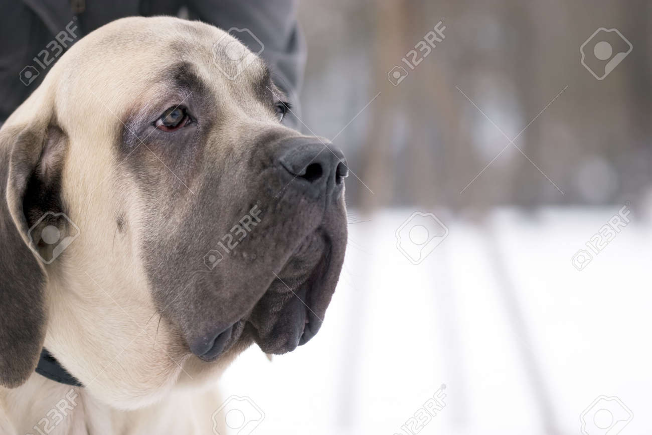 The 6 month puppy of mastiff dog Stock Photo - 2602468