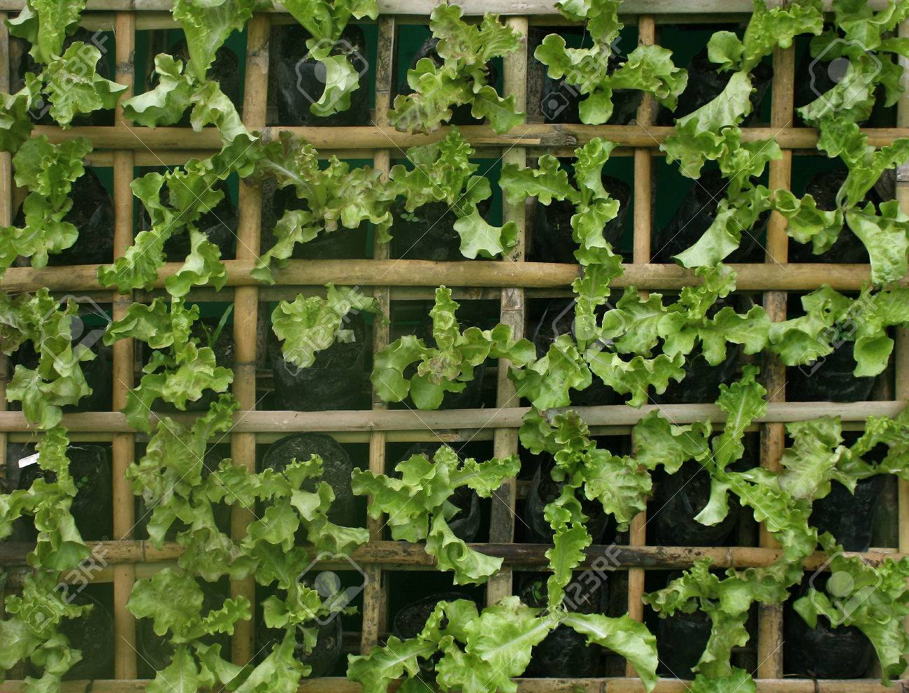 Organic Hydroponic Vegetables Vertical Garden Stock Photo Picture