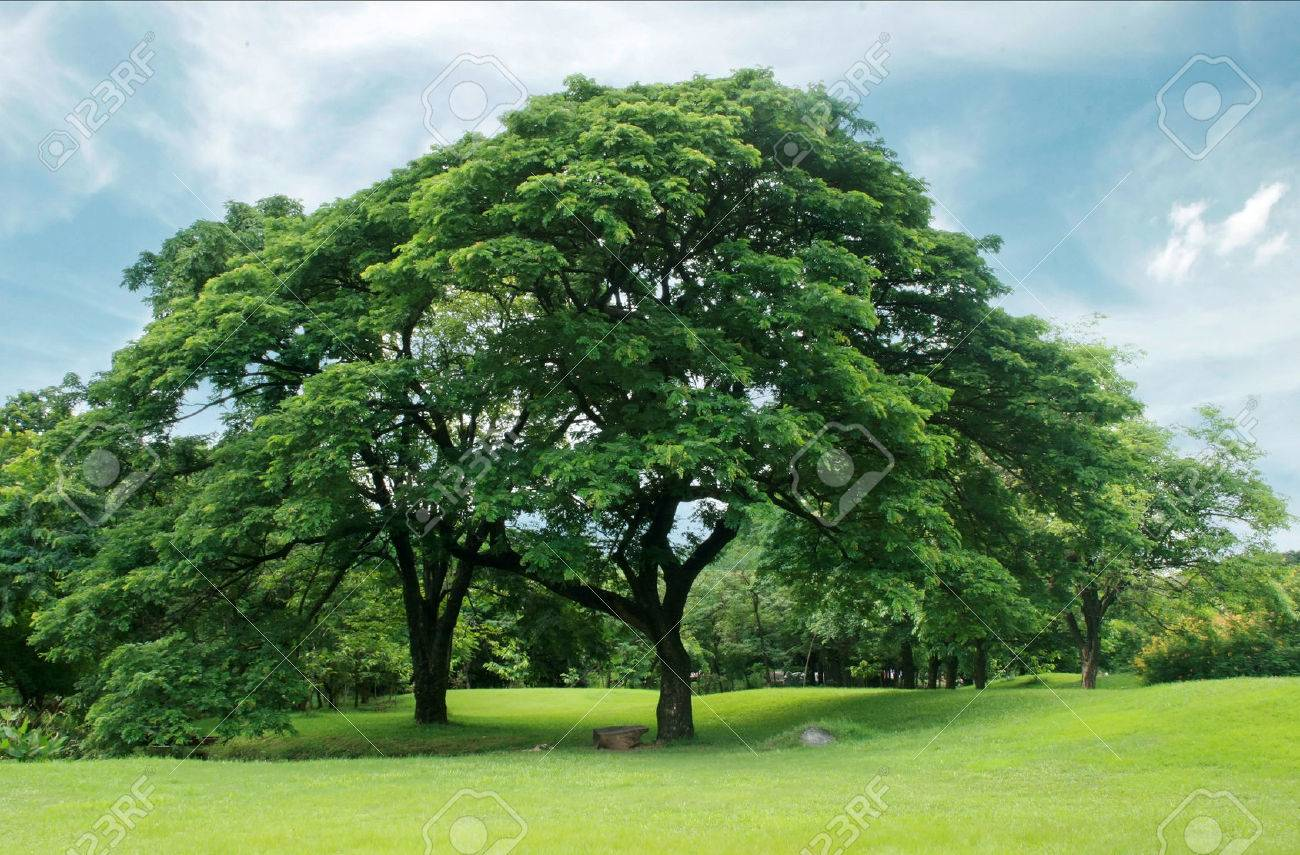 Big Trees In The Garden Stock Photo Picture And Royalty Free