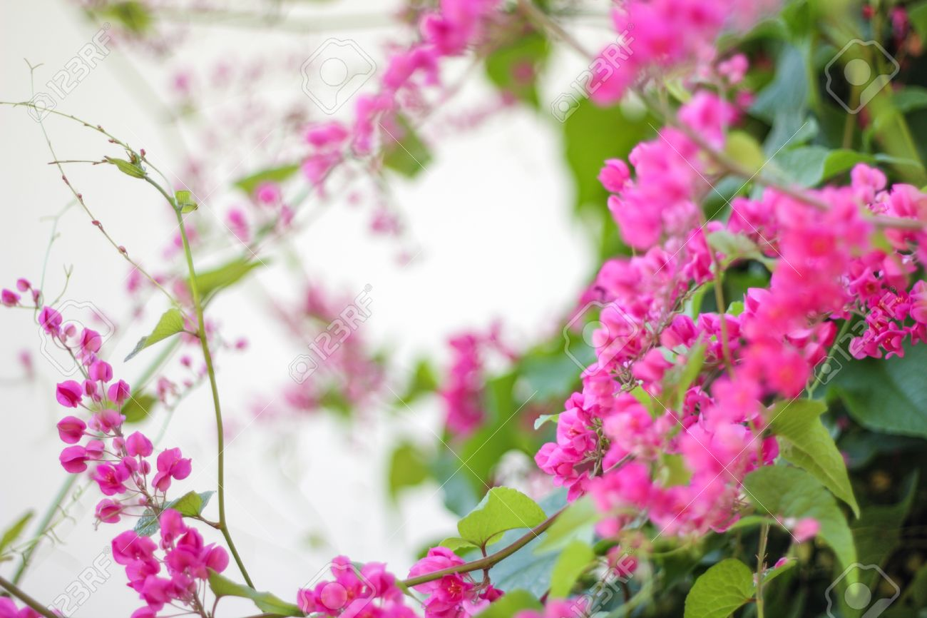 Beautiful Pink Flower Vine Stock Photo Picture And Royalty Free