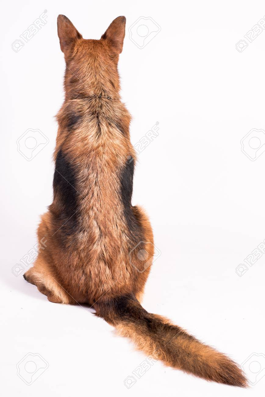 German Shepherd on a white background solid