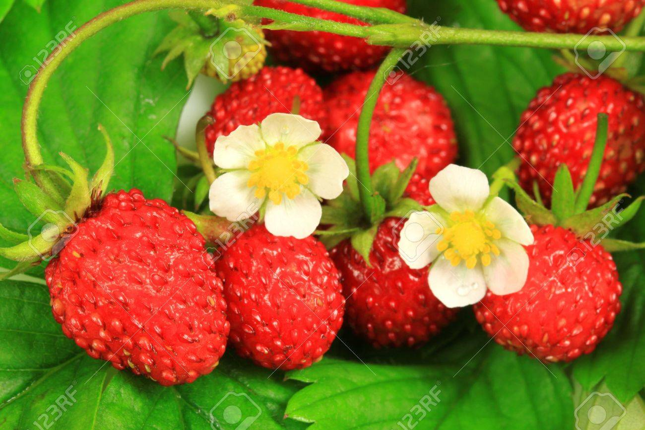 Wild strawberry fruits, leaves and flowers close-up Stock Photo - 7953095