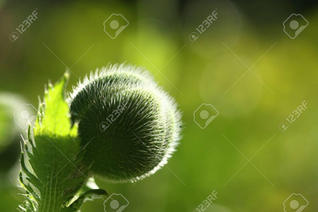 Beautiful Poppy Flower Bud In Sun Light Natural Background Stock