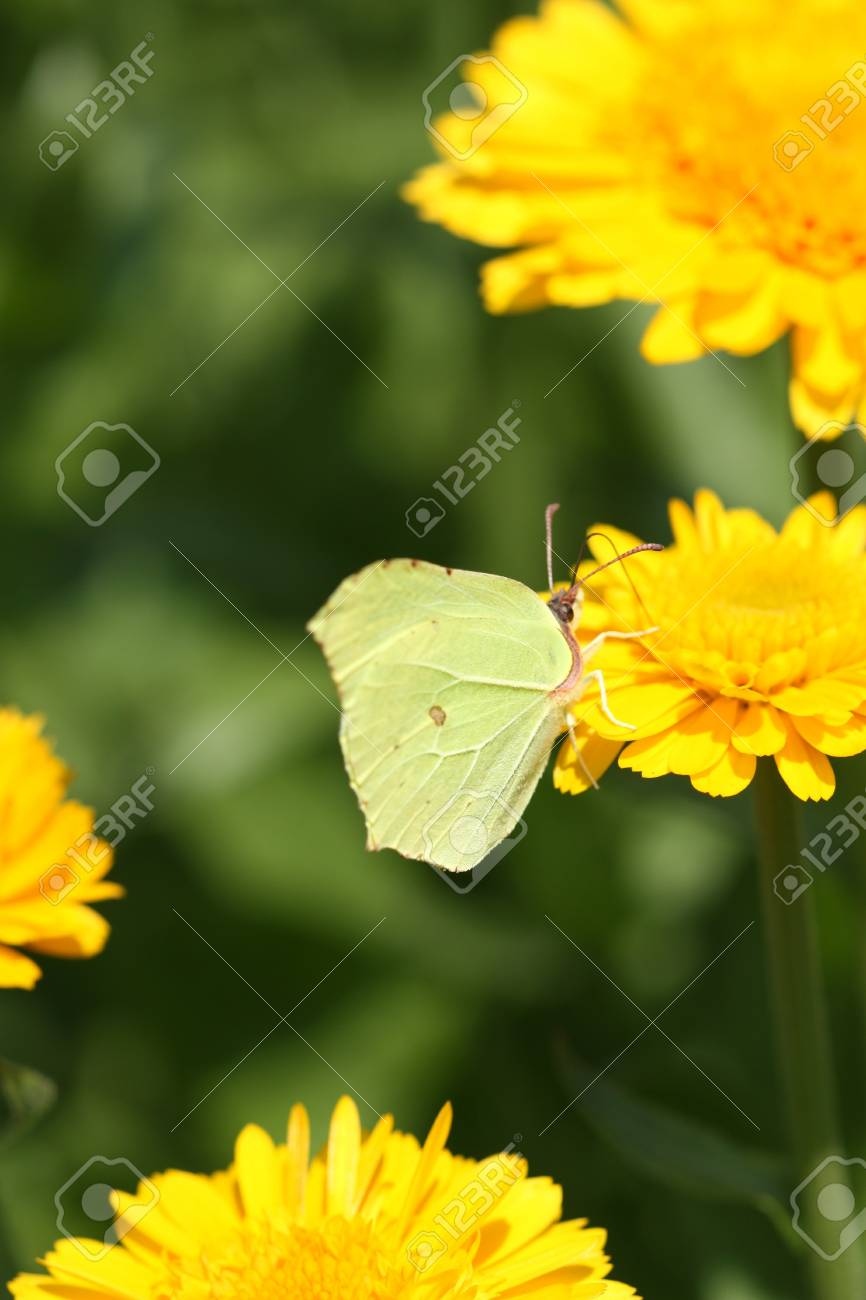 Butterfly (Common Brimstone) drinking nectar on calendula flower Stock Photo - 10353822